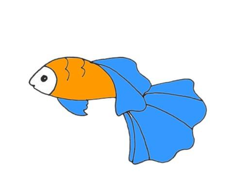 孔雀鱼如何画简单漂亮_孔雀鱼简笔画步骤图解教程