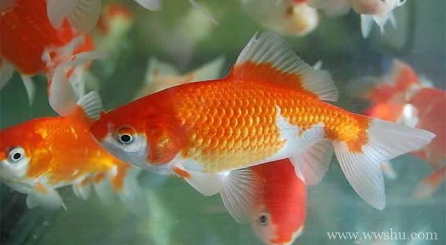 可爱小金鱼简笔画彩色图片 小金鱼简笔画步骤图解教程